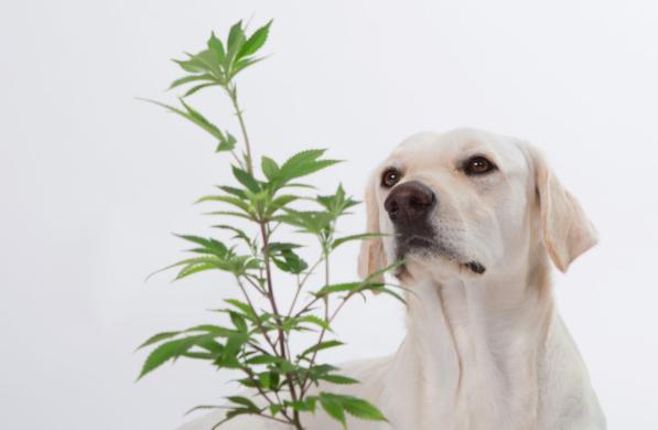 cannabis, pets, bloom city club, ann arbor, michigan medical marijuana, dogs, cats, horses